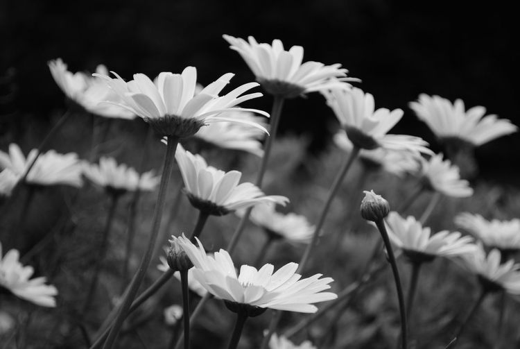 Beauty In Nature Blackandwhite Blooming Botany Close-up Flower Flower Head Flowers,Plants & Garden Fragility Garden Nature Petal White