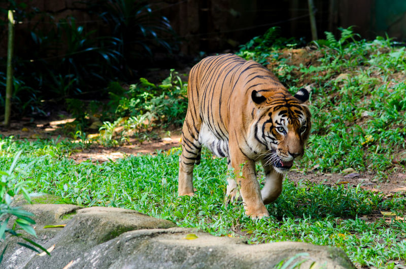 Malayan tiger walk around One Animal Animal Themes Animal Animal Wildlife Animals In The Wild Big Cat Tiger Mammal Feline Cat Plant Grass Nature No People Vertebrate Zoo Day Endangered Species Carnivora Outdoors Undomesticated Cat Whisker Bamboo - Plant