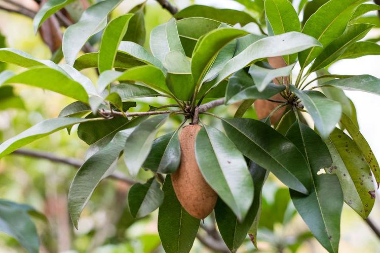 Sapodilla fruit