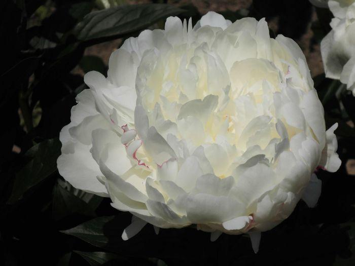 はな 花 華 白い 植物