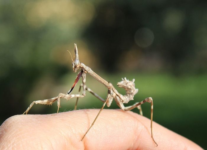 Mantis Insects Collection Insect Photography Wildlife Wildlife & Nature Garden Photography #EyeEm Nature Lover Human Body Part Body Part Human Hand Invertebrate Insect Animal Wildlife One Person Close-up One Animal Focus On Foreground Animals In The Wild Nature Day Outdoors