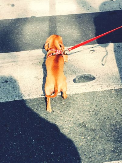 La balade... Dog One Animal Animal Themes Domestic Animals Pets High Angle View Dog Lead Day Sunlight Outdoors Paris Je T Aime Paris ❤ Paris, France  Parisian ParisianLifestyle Parisian Cliché