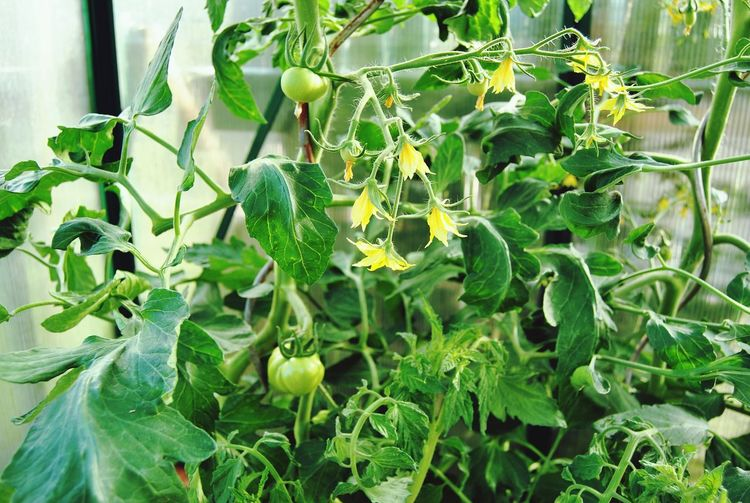 Thisted Denmark My Secret Garden 2015 Nature Photography Tomato Green Tomatoes