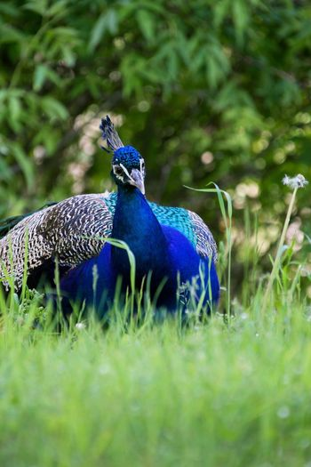 Animal Themes Bird Animals In The Wild Peacock Blue Green Color Nature Animal Wildlife Grass Beauty In Nature No People Day One Animal Outdoors Peacock Feather Close-up Beauty In Nature Power In Nature Bestoftheday Iamnewhere Bestofeyem Nature Photography Carinthia Animals In The Wild Green Color