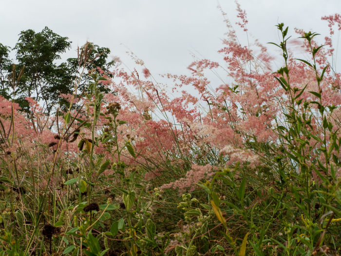 red grass Plant