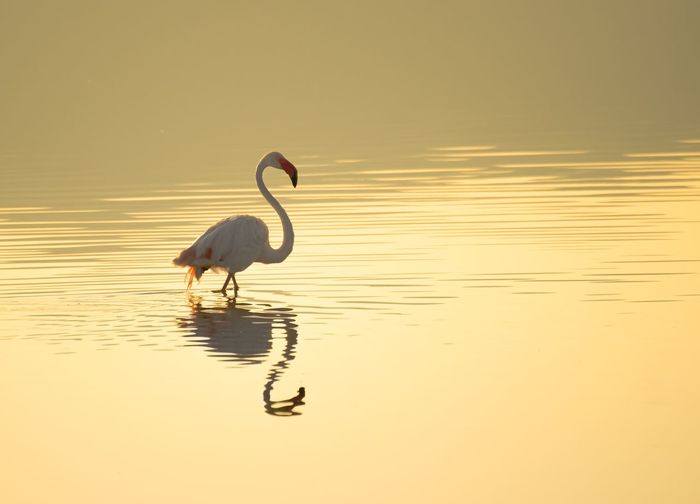 Water Animal Themes Reflection Animal Bird Animal Wildlife Vertebrate Animals In The Wild Sunset Sky Orange Color Flamingo One Animal Waterfront Nature Beauty In Nature Sea No People Wading
