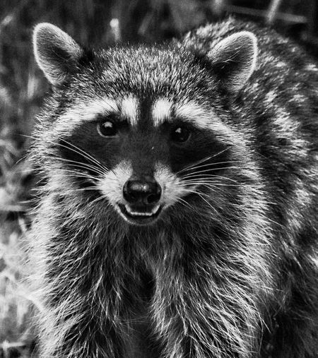 One Animal Animal Themes Animal Mammal Portrait No People Animal Body Part Looking At Camera Animal Wildlife Animals In The Wild Close-up Vertebrate Animal Head  Raccoon Whisker