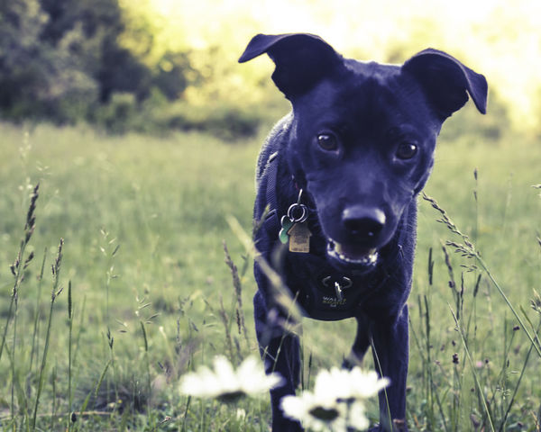 Animal Head  Black Color Close-up Day Dog Domestic Animals Field Focus On Foreground Grass Grassy Growth Mammal Nature No People Outdoors Pet Collar Pets Portrait Selective Focus Live For The Story