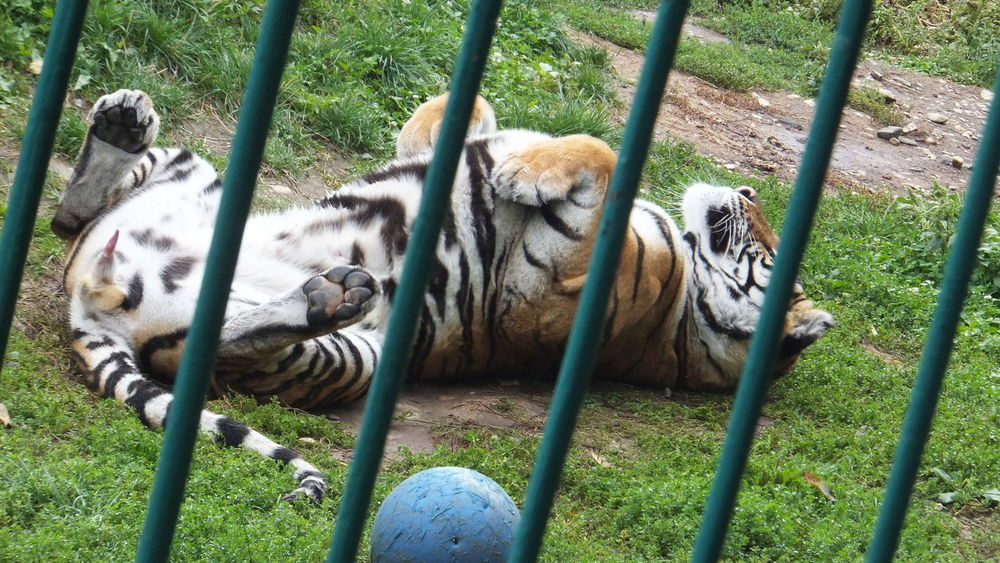 Be Wild Enjoying The Sun Find The Good In Everything Free Animals From Zoo Free Soul Happy Soul Live Free Tiger Love Wildlife