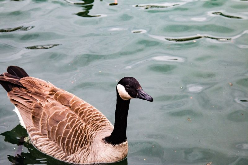 Close-up of canada goose swimming on pond