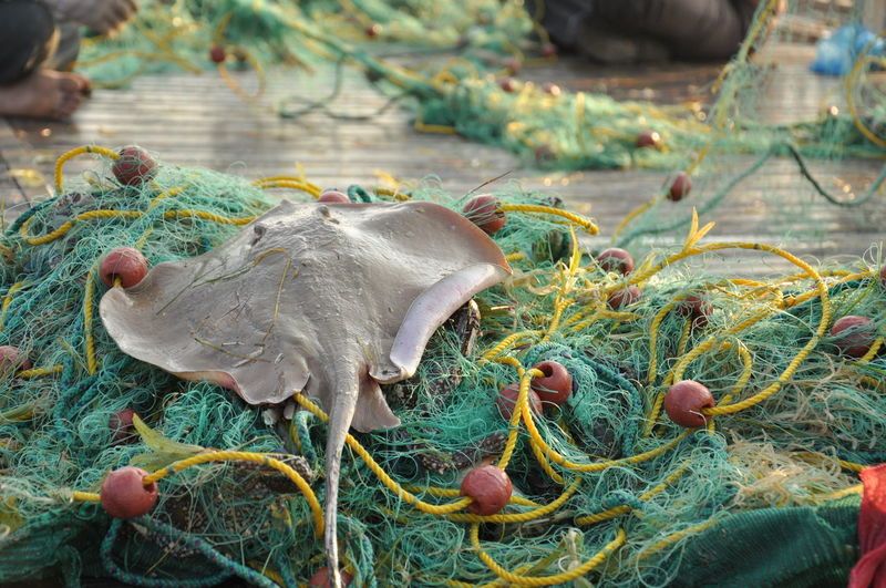 Close-Up Of Stingray On Fishing Net