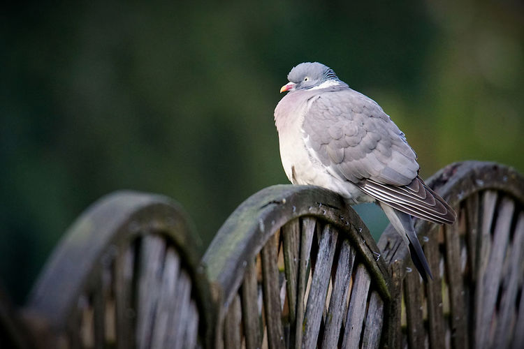 Close-up of pigeon perching on wood
