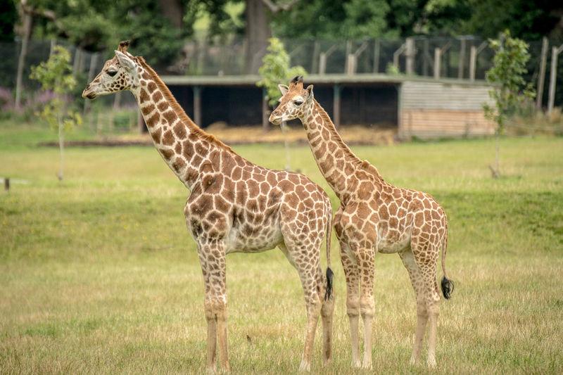 Giraffe against trees