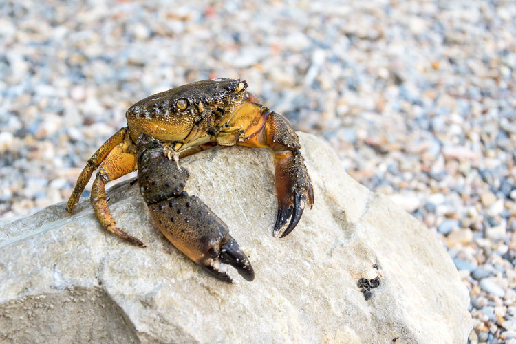 crab sitting on a rock Crab Animal Animal Themes Animal Wildlife Animals In The Wild Arthropod Close-up Crab Day Focus On Foreground Insect Invertebrate Land Marine Nature No People One Animal Outdoors Rock Rock - Object Solid Stone - Object