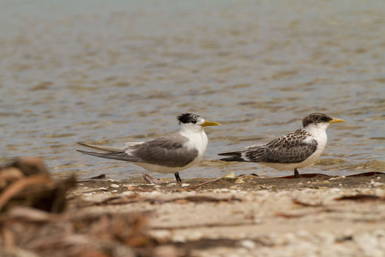 Animal Themes Animals In The Wild Beach Bird Bird Photography Close-up Crested Tern Nature Nature Photography No People Sterna Bergii Tern Water Wildlife & Nature Wildlife Photography