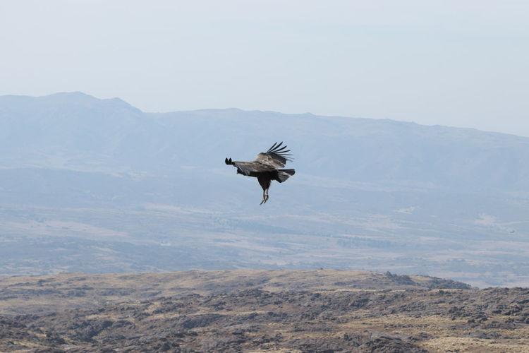 Bird flying over mountain range against clear sky