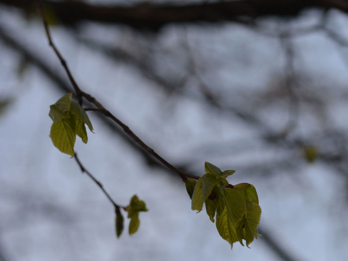 Beauty In Nature Close-up Day Focus On Foreground Fragility Fresh Leaves Freshness Growth Leaf Nature No People Outdoors Plant Spring Is Coming  The First Leaves Tree Tree Branches