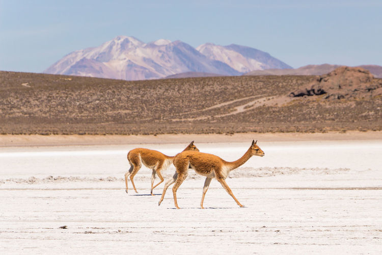 Vicuñas at