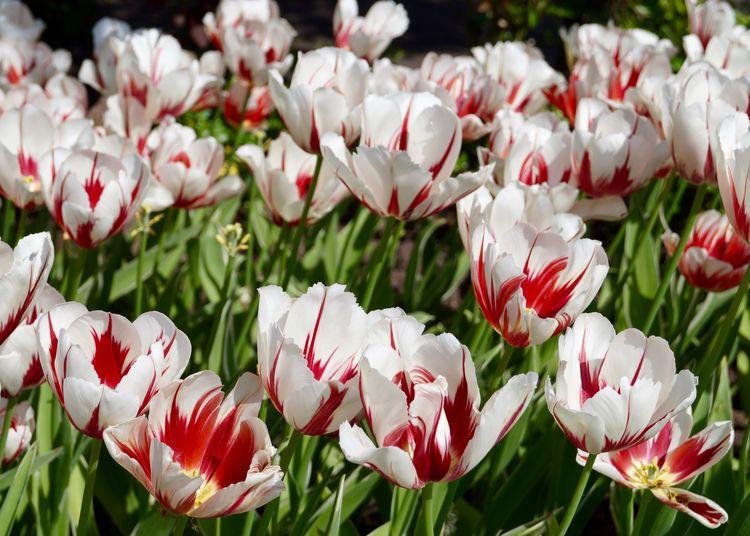 Tulpen Flower
