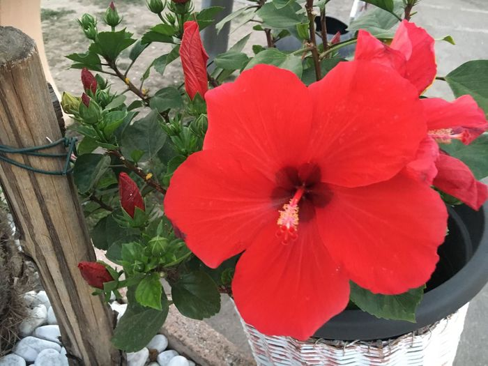 Red Red Flower Flower Ibiscus