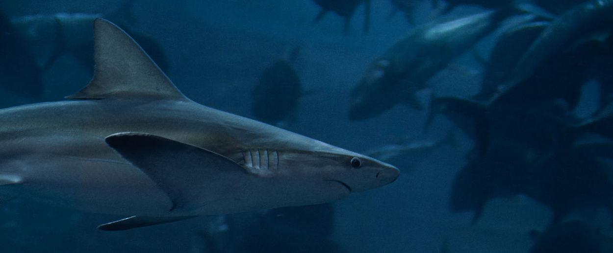 Grey nurse shark swimming