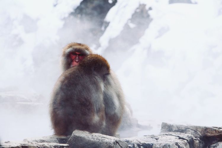 Snow monkeys of Jigokudani Park! Snow Monkey Snow Monkey Japan Japan Photography Animal Themes Animals In The Wild Animal Wildlife Monkeys Wildlife Love Cuddles Hotspring Hot Spring Snow Cold Temperature Japanese Macaque Winter Close-up Aquatic Mammal Foggy Fog Weather Snowcapped Mist Rock Formation