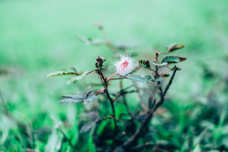 Backgrounds Beauty In Nature Close-up Copy Space Fabaceae Flower Flower Head Fragility Freshness Green Growth Herb Herbal Makahiya Medicinal Mimosa Pudica Nature Outdoors Perennial Plant Selective Focus Sensitive Shrink Thorn Wild Springtime Decadence