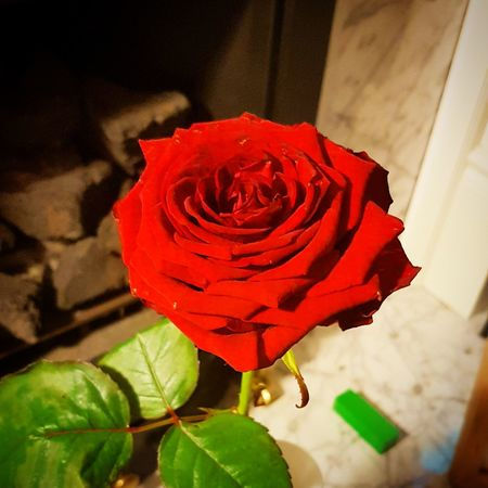 Red Rose Flower Head Flower Pedal Leaf Red Petal Rose - Flower Close-up Plant Rose Petals Valentine Day - Holiday Single Rose Blooming