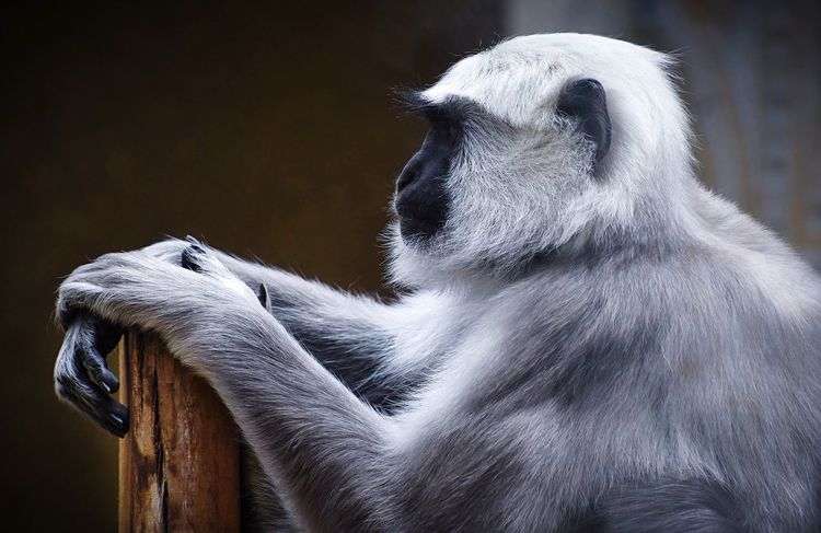 The grey langur monkey at London Zoo Monkey Monkeys Monkey Business London London Zoo Grey Grey Fur Grey Langur Monkeys Grey Langur Monkey Chilling Zoo Monkey Zoo Thoughtful The Portraitist - 2016 EyeEm Awards Animals Animals In Captivity Cute Natures Diversities