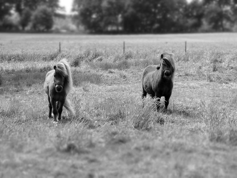 Black & White Black And White Blackandwhite Blackandwhite Photography Horse Horses Little Horse Oudoors Pony Pet Portraits