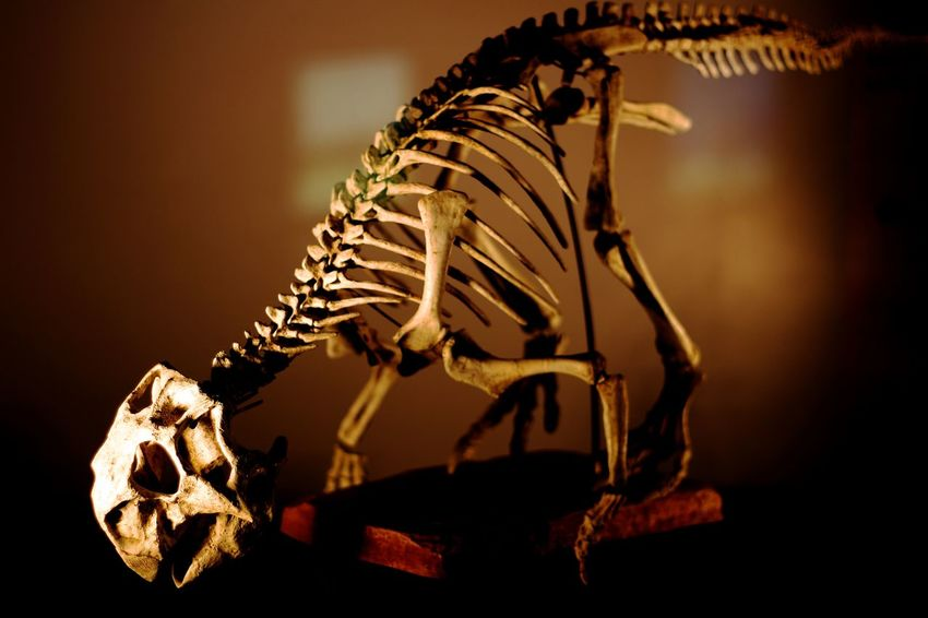 Close-up Dinasaur Dinosour History Illuminated Indoors  No People Skeleton