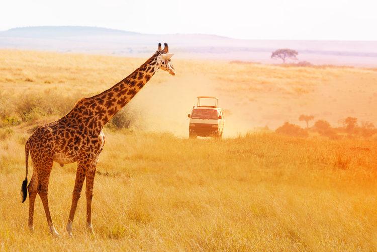 Giraffe standing on field against car during safari