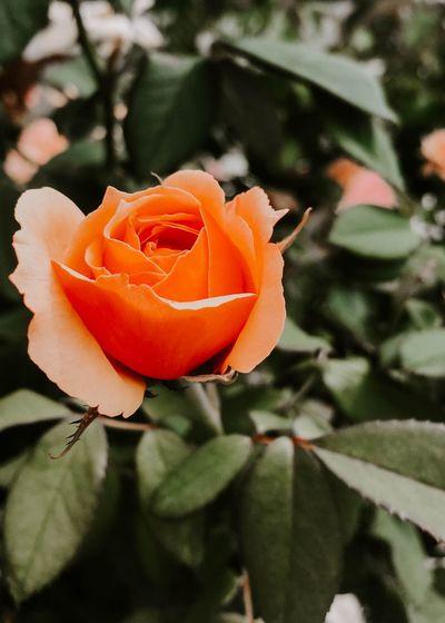 ooty Rose -