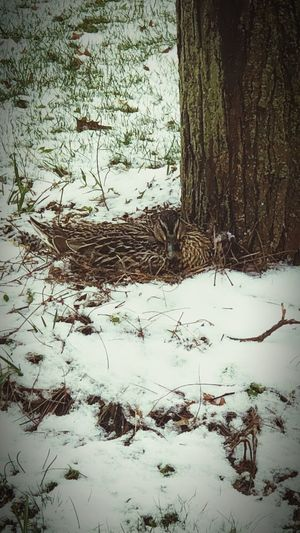 #motherhood Mallard Duck Mother Duck Duck Winter Cold Temperature Snow No People Day Tree Nature Outdoors