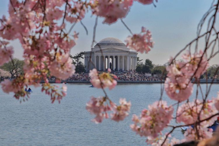 Jefferson Memorial By Lake Seen Through Flowering Tree In City