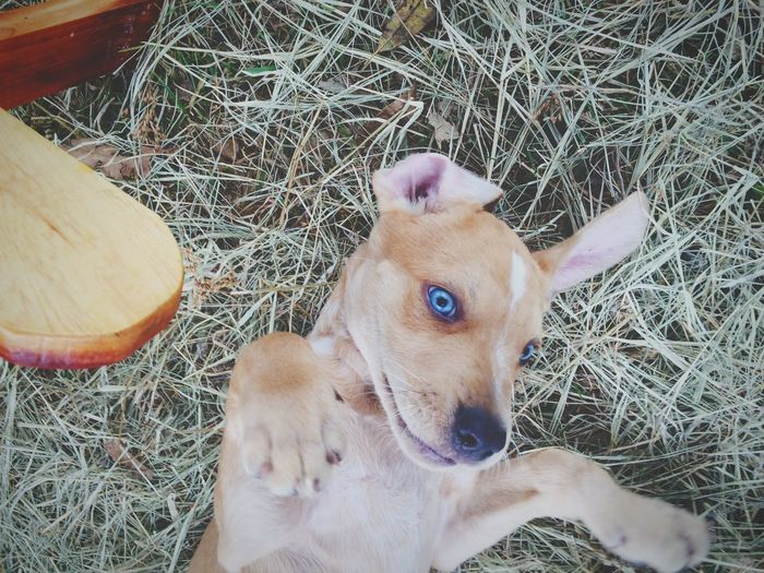 Blue Eyes Eyes Blue Hay Shadow Faded Outdoors Puppy Puppy Love