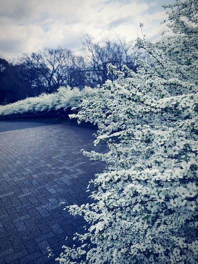 Thunberg Spirea Flower