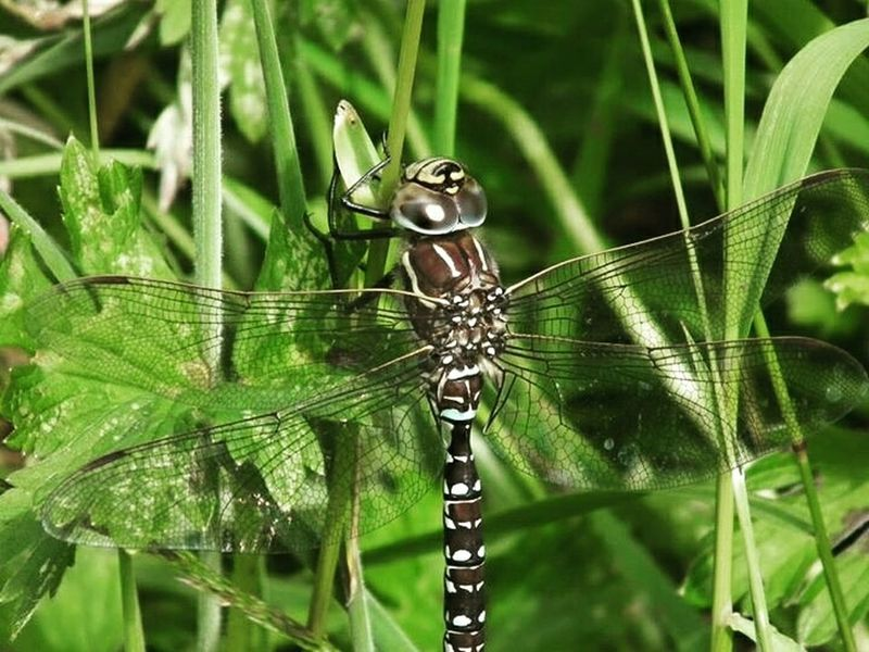 Bug Dragonfly Insect Creepycrawly Creepy Crawly Wings Nature Natural World Grass No People Natural World Creature Leaves Sections Pettern Undergrowth Eyes Unusual Beauty Day Horizontal Body Spots Legs Anatomy