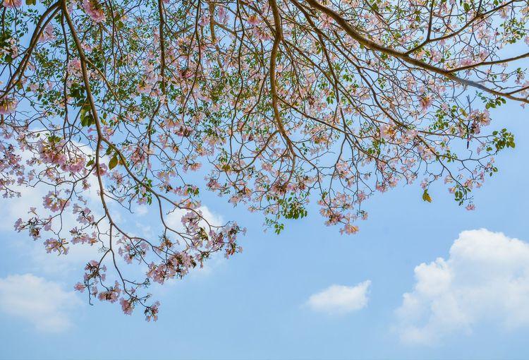 pink trumpet tree Pink Flower ชมพูพันทิพย์ Tree Flower Branch Springtime Blue Sky Close-up Cloud - Sky Cherry Tree Apple Blossom Flower Tree Blossom