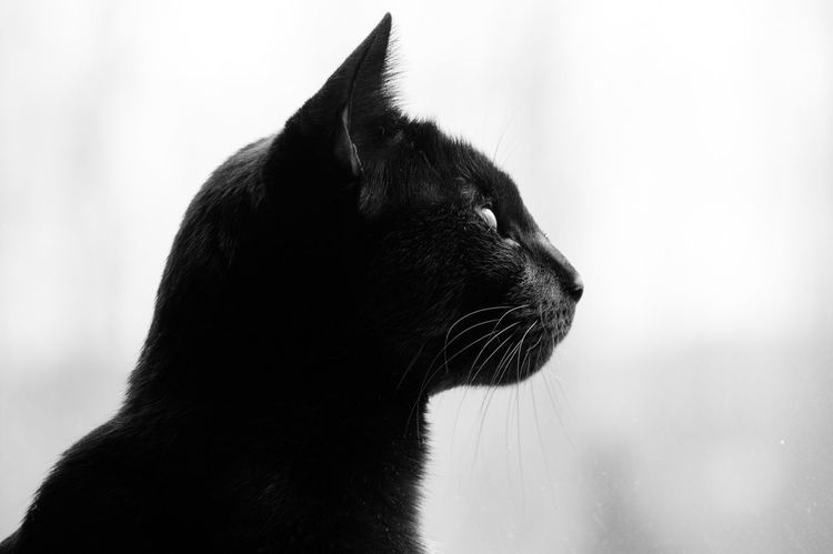 Domestic Animals One Animal Mammal Pets Animal Themes Domestic Cat No People Close-up Feline Day Outdoors Black Cat Black Cat Photography