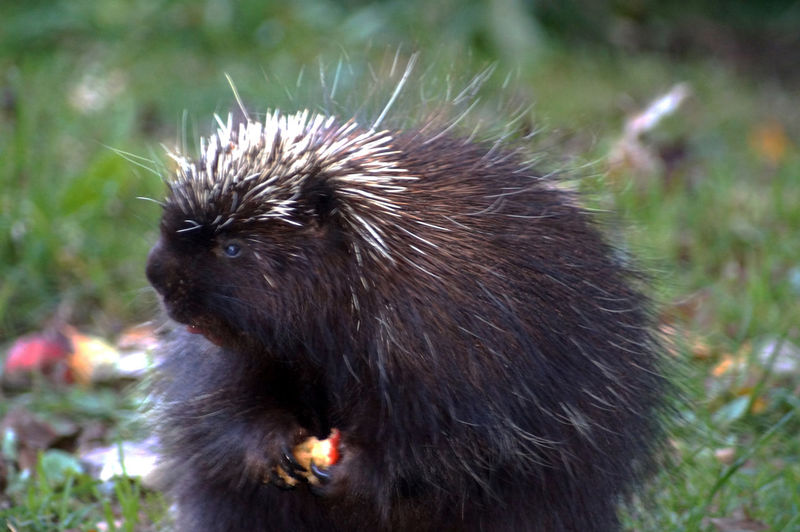 Animal Themes Close-up Crab Apples Day Mammal Nature No People One Animal Outdoors Porcupine