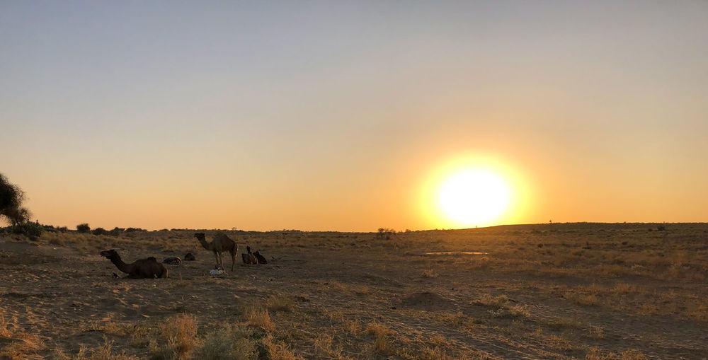 Desert India Sheepherd Travel Animal Themes Animals In The Wild Camel Domestic Animals Jaisalmer Mammal Obrigado Outdoors Rajasthan Sand Sand Dune Sheep Sun Sunset Thar Desert