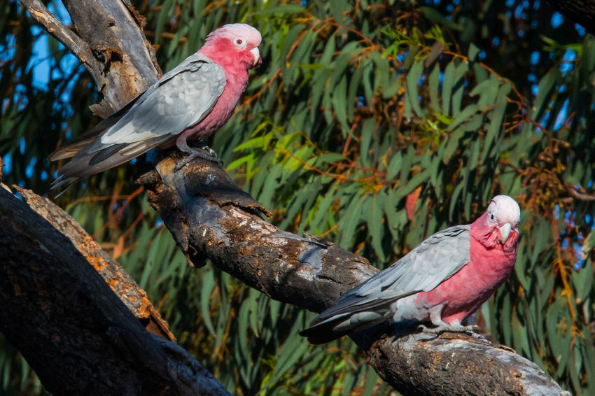 Gazisonit Galah P Grey Animal Themes Animal Wildlife Animals In The Wild Bird Branch Close-up Day Nature No People One Animal Outdoors Perching Tree