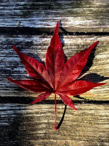 Leaf Red Plant Part Nature Day Autumn No People Sunlight Close-up High Angle View Outdoors Single Object Maple Leaf