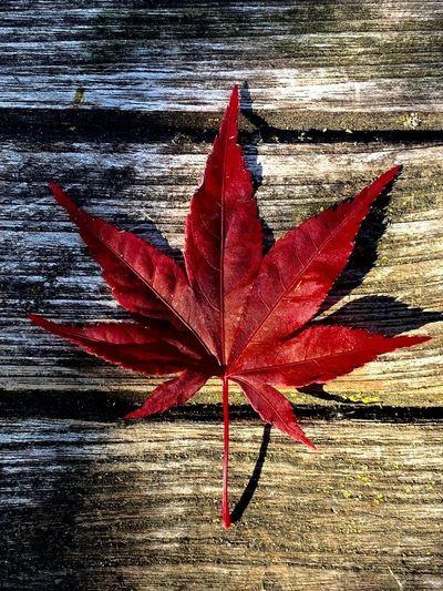 Leaf Red Plant