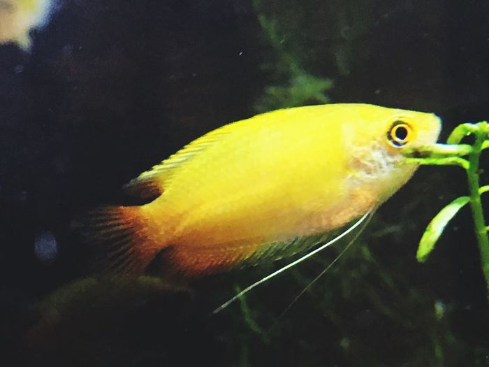 Ghd Gurami Yellow Fish Water Underwater One Animal No People Swimming Nature Aquarium