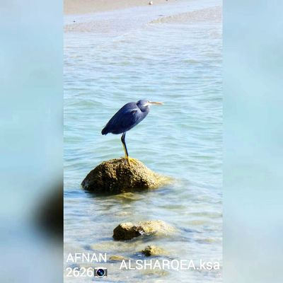 طيور طير بحر Animal Wildlife One Animal الشرقية Ksa😍 لا اله الا الله محمد رسول الله  استغفر_الله صورة Afnan2626 Samsung Cam Flower Head Heron Animal Themes No People Outdoors تراث الشعوب Pictor Photo Vantastic Animals In The Wild Bird Water Reflection