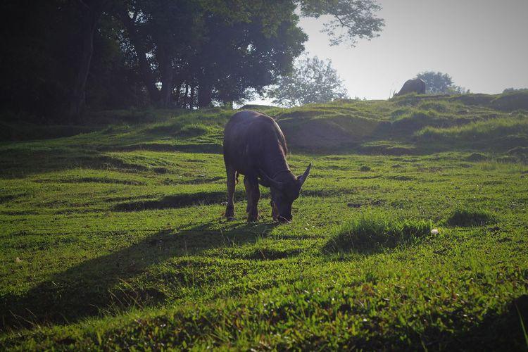 Buffalo bull grazing in a field
