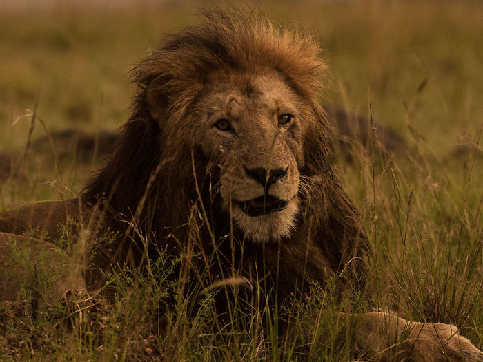 Front face Old Lion in Masai Mara looks like its speaking Growing Old Kenya Lion Masai Mara Nairobi Nature Nature Photography Africa Old Lion Safari Safari Animals Speaking Animal Speaking Lion Talking Animal Talking Lion Wildlife Wildlifephotography