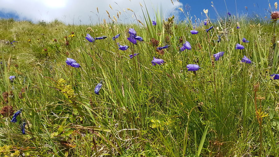 Gentian Flower Mountain Flowers Herbs Green Summer Freshness Alps Grasses Mountains Moutain Top Mountain Herbs On Top No People Outdoors Flower Head Flower Backgrounds Uncultivated Field Wildflower Purple Meadow Sunlight Plant Life Botany In Bloom